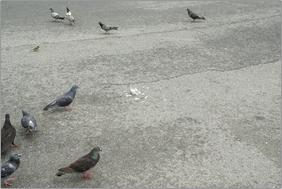 遠巻きに様子を伺う鳩